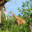 Национальный парк Цаво, Кения